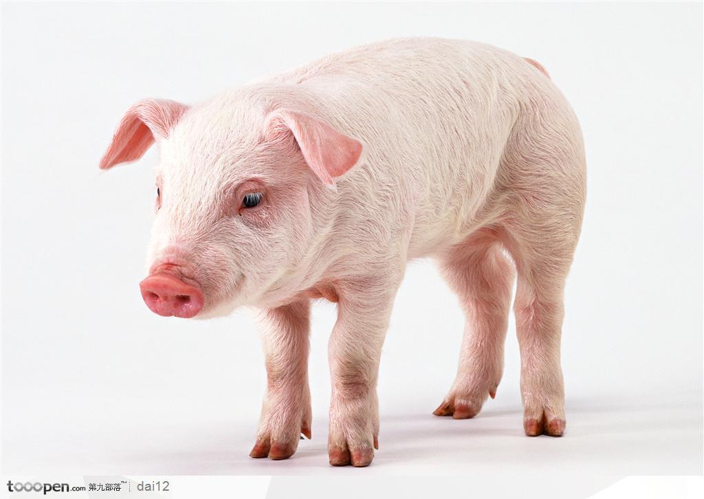 小猪高清大图