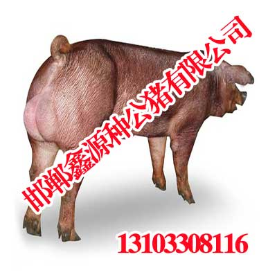 邯郸种猪种猪,邯郸火山公猪v种猪,鑫源种视频-大白大白洋洋图片